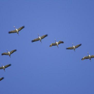 10 травня  – Міжнародний день мігруючих птахів