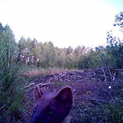 куниця лісова